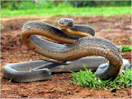 Australische Giftschlange